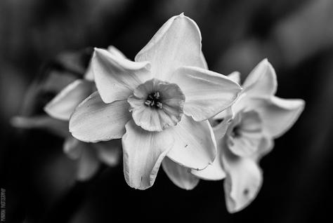 Triple Headed Daffodil