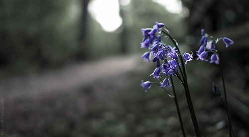 Path by the Bluebells